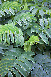 Melianthus major AGM. Honey flower