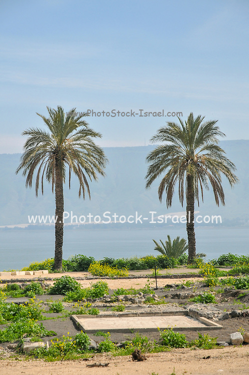 Palm trees on the shore of the Sea of Galilee, Israel