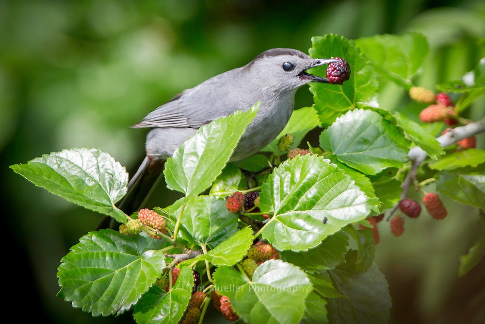 A Grand Isle gray catbird feeds on mulberries at the Nature Conservancy's Grilletta tract on Grand Isle. La.
