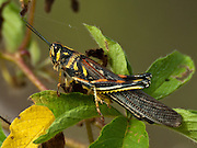 The painted locust (schistocerca melanocera, in the family of Acrididae, or short-horned grasshoppers) is the brightest and most conspicuous galapagos insect. This black, red, green and yellow painted locust was at Puerto Egas accessible via a wet landing on Santiago (or San Salvador, or James) Island, in the Galápagos archipelago, a province of Ecuador. Grasshoppers are popular prey for lava lizards.