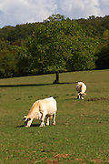 cows in a field aluze mercurey burgundy france