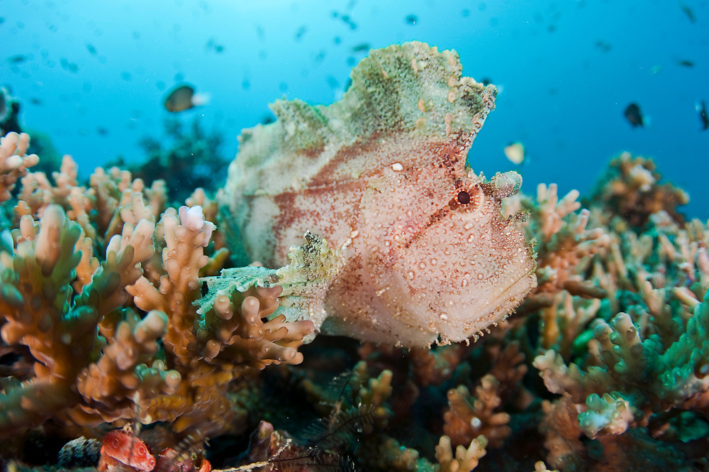 A Leaffish, Taenianotus triacanthus, rests on corals on the bottom of Beqa Lagoon, Fiji
