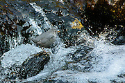 Sitting and listening to the mountain stream roll by is extremely relaxing when all of a sudden I notice a flicker that is not the ripple of rapids.  After a few minutes wait an American Dipper pops out from behind a rock and pauses before it dives back into the rapids to look for an insect.  As the bird moves down the stream, I am left to feel I have been so lucky to experience this moment.