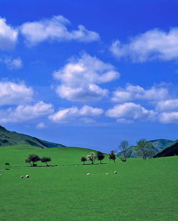 Sheep graze under fluffy clouds in the Dovey Valley, Gwynedd Co., Wales.