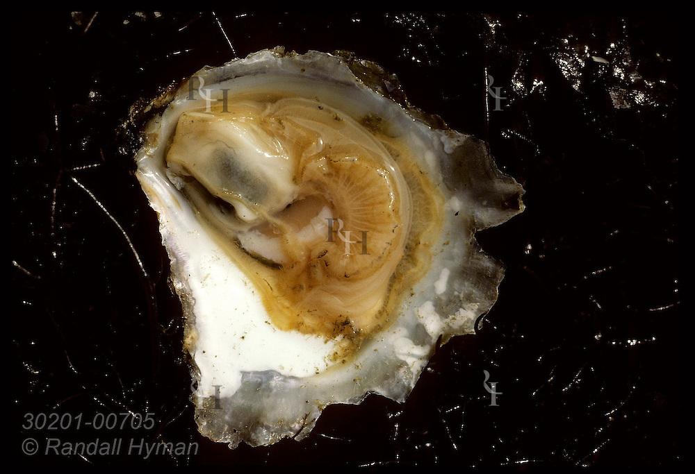 Opened European flat oyster (Ostrea edulis).  France