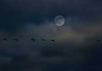 Snow geese travel with the help of a well lit moon.