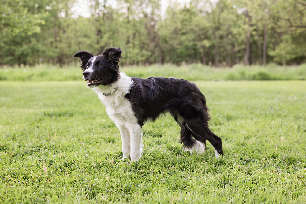 Black and white Border Collie standing
