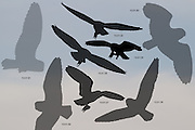 Sequence showing short-eared owl (Asio flammeus) silhouetted with small mammal in its grasp. Surrey, UK.