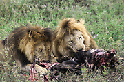 two young lions with a carcass of a hunted zebra. Photographed at Serengeti National Park, Tanzania