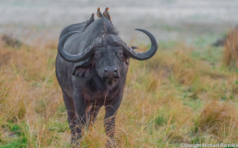 A wild cape buffalo in Zambia's South Luangwa National Park.