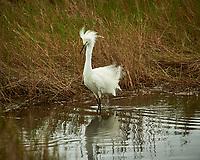 Snowy Egret. Black Point Wildlife Drive, Merritt Island National Wildlife Refuge. Image taken with a Nikon D3s camera and 70-200mm f/2.8 lens with a 2.0 TC-E III teleconverter (ISO 200, 400 mm, f/8, 1/320 sec).