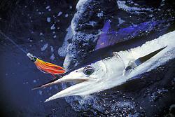 short-billed spearfish, Tetrapterus angustirostris, off Kona Coast, Big Island, Hawaii, USA, Pacific Ocean