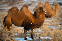 Bactrian camel, male, Camelus bactrianus, a feral animal living in the wild, but owned by a camel herdsman, often of Kazakh ethinicity. Kalamaili Nature Reserve, Xinjiang, China