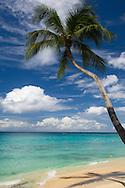 A palm tree leaning over the sea on a beach on the West coast of Barbados in the Caribbean Sea.