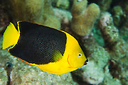 Rock Beauty (Holacanthus tricolor)<br /> BONAIRE, Netherlands Antilles, Caribbean<br /> HABITAT & DISTRIBUTION: Defined territories on reefs<br /> Florida, Bahamas, Caribbean, North to Georgia, Gulf of Mexico, Bermuda & south to Brazil.