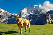 Alpine Cow with Mountain - Bernese Alps Switzerland .<br /> <br /> Visit our SWITZERLAND  & ALPS PHOTO COLLECTIONS for more  photos  to browse of  download or buy as prints https://funkystock.photoshelter.com/gallery-collection/Pictures-Images-of-Switzerland-Photos-of-Swiss-Alps-Landmark-Sites/C0000DPgRJMSrQ3U