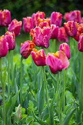 Tulipa 'Amazing Parrot'