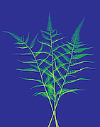 A false color X-ray of a fern.