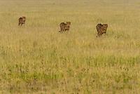 Cheetahs, Nxai Pan National Park, Botswana.