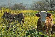 Israel Galilee, Cows grazing in a field