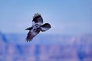 Raven in flight showing its glossy black feathers, Grand Canyon National Park, Arizona, © David A. Ponton