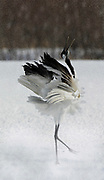 Red Crowned Crane, Grus japonensis, dancing, displaying, wings open, Hokkaido Island, japanese, Asian, cranes, tancho, crested, white, black,  wilderness, wild, untamed, photography, ornithology, snow, calling, digitally enhanced.