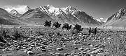 Bactrian camel caravan leaves K2 base camp, Suget Jangal, Chongtar expedition 1994, Sarpo Laggo glacier on right, Karakoram mtns, far western China, Central Asia.