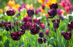 Tulipa 'Black Hero' in the cutting garden