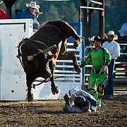 Tristan Hutchings gets protective as Red Eye Rodeo Bull Wiggly Worm gives a victory jump at the Darby MT Elite Proffesionals Bull Riding Event July 7th 2017.  Photo by Josh Homer/Burning Ember Photography.  Photo credit must be given on all uses.