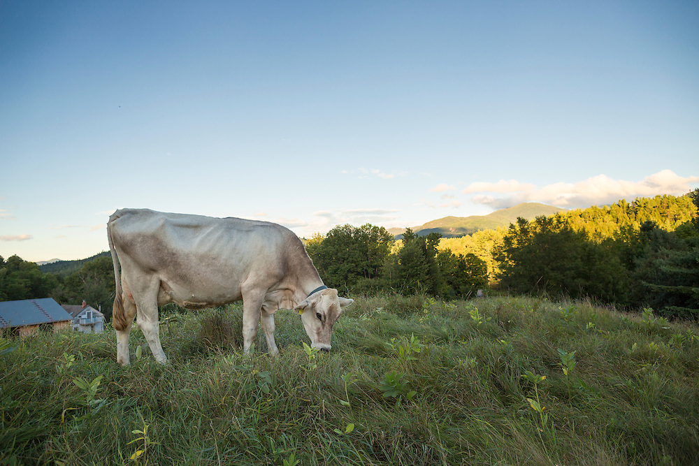 Cow grazing on a hillside on a late summer afternoon