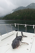 dead salmon shark, Lamna ditropis, on deck of charter fishing boat, Prince William Sound, Alaska, U.S.A.