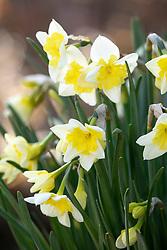 Narcissus 'Prom Dance'