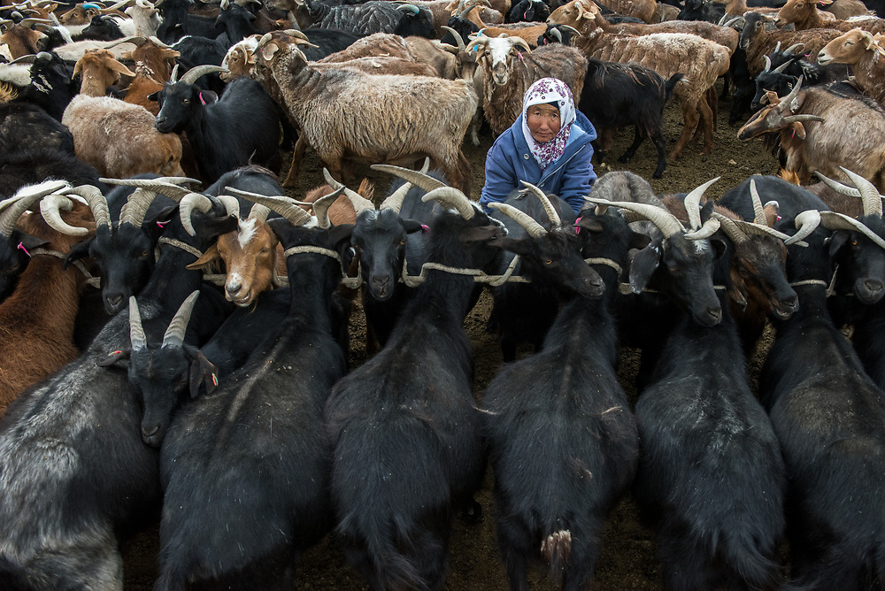 Milking goats<br /> Bayan-Olgii Province<br /> West Mongolia