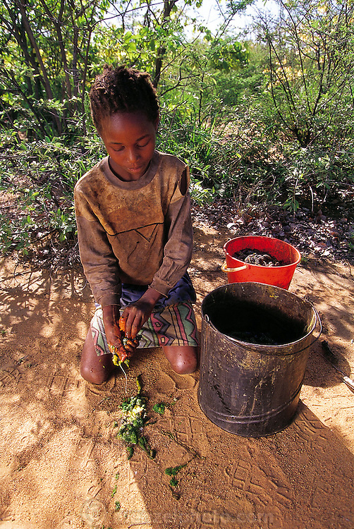 In Botswana, Mamebogo Marumo sits under the shade of a mopane tree as she squeezes the insides out of mopane worms, keeping the carcasses to be salted, cooked, and dried to be eaten. The mopane worm is the caterpillar of the anomalous emperor moth (Imbrasia belina), one of the larger moths in the world. Dried mopane worms have 3 times the protein content of beef and can be stored for many months.