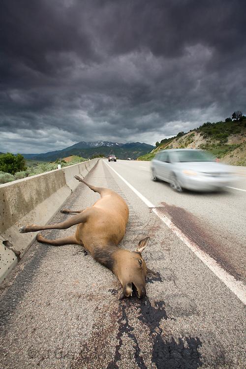 Dark image of elk killed while trying to cross a highway in Utah.