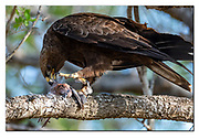 Wahlberg's eagle  feeding on a laughing dove in Kruger NP, South Africa. Nikon D500, 600mm (900mm in full frame), f4, EV-0.33, 1/500sec, ISO640, Aperture priority.