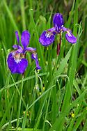 A Siberian Iris (Iris siberica) blooming in a backyard garden in British Columbia, Canada