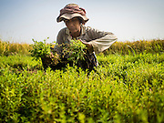 27 FEBRUARY 2015 - PONHEA LEU, KANDAL, CAMBODIA: A woman picks herbs from a small garden in the middle of her rice paddy during the rice harvest in Kandal province, Cambodia. Kandal province is an agricultural province north of Phnom Penh.    PHOTO BY JACK KURTZ