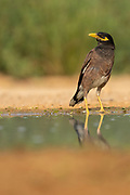 Common myna (or Indian Myna Acridotheres tristis). This bird is native to southern Asia from Afghanistan to Sri Lanka. The Myna has been introduced in many other parts of the world and its distribution range is on the increase to an extent that in 2000 the Species Survival Commission (IUCN) declared it among the World's 100 worst invasive species. and one of only three birds in this list. It is a serious threat to the ecosystems where introduced. Photographed in Israel