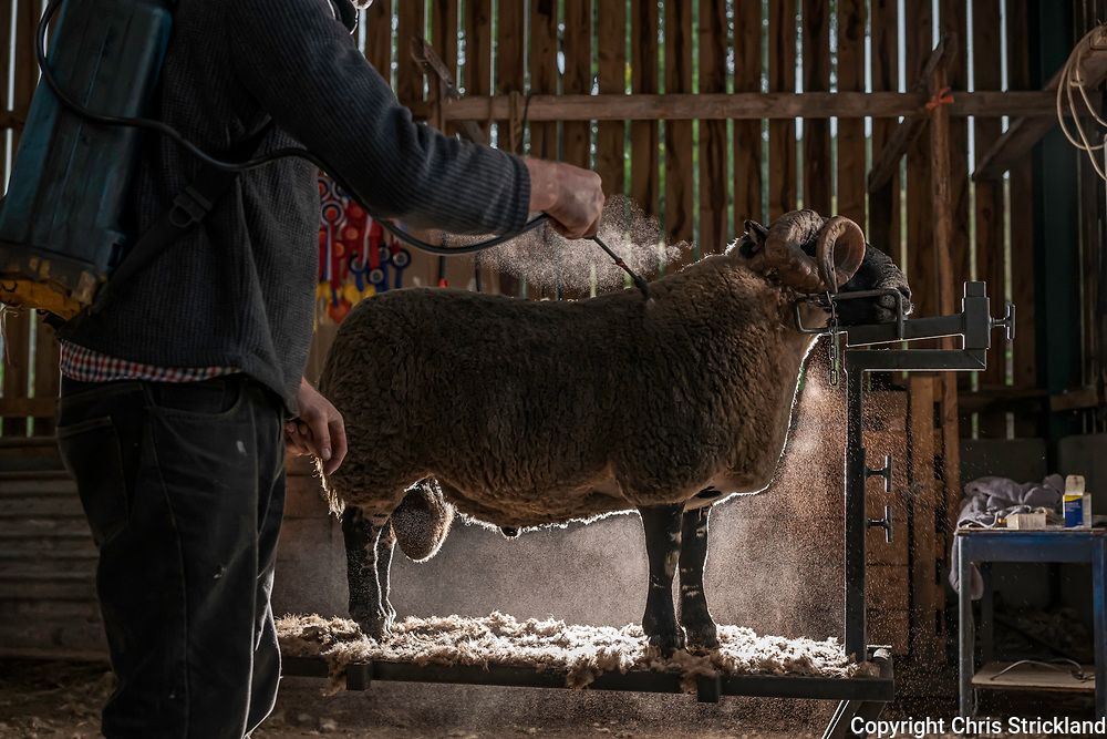Hownam, Kelso, Scottish Borders, Scotland, UK. 1st October 2021. Hill farmer Derek Redpath, who farms the Yett Valley in the Cheviot Hills, sprays his Black Face Rams fleeces with dye prior to major sales at Stirling and Lanark marts this month. Black Face sheep are a hardy hill breed and are the backbone of the Scottish sheep industry. Credit: Chris Strickland / Telegraph