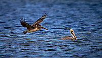 Brown Pelican Flying By a White Pelican in the Water. Merritt Island National Wildlife Refuge in Florida. Image taken with a Nikon Df camera and 600 mm f/4 VR lens (ISO 100, 600 mm, f/4, 1/1600 sec).