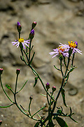 Sea aster flowers (Aster tripolium). This perennial halophytic (salt tolerant) plant is common in saltmarshes and coastal areas Photographed in Evros, Greece