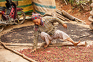 A woman sorts coffee beans in the Central Highlands, Vietnam, Southeast Asia.