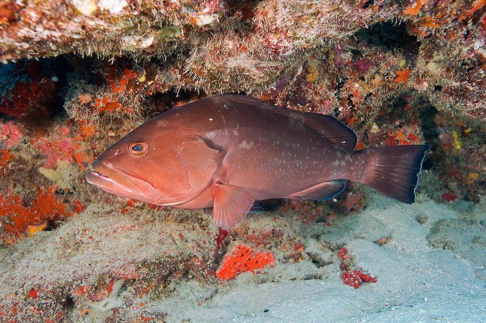 Endangered Red Grouper, Epinephelus morio, in Palm Beach County, Florida, United States