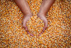 Agricultor segura grãos de milho da sua produção. FOTO: Jefferson Bernardes/Preview.com
