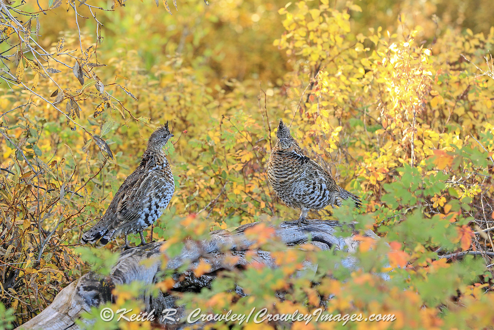 Ruffed Grouse on fallen log in brilliant fall colors