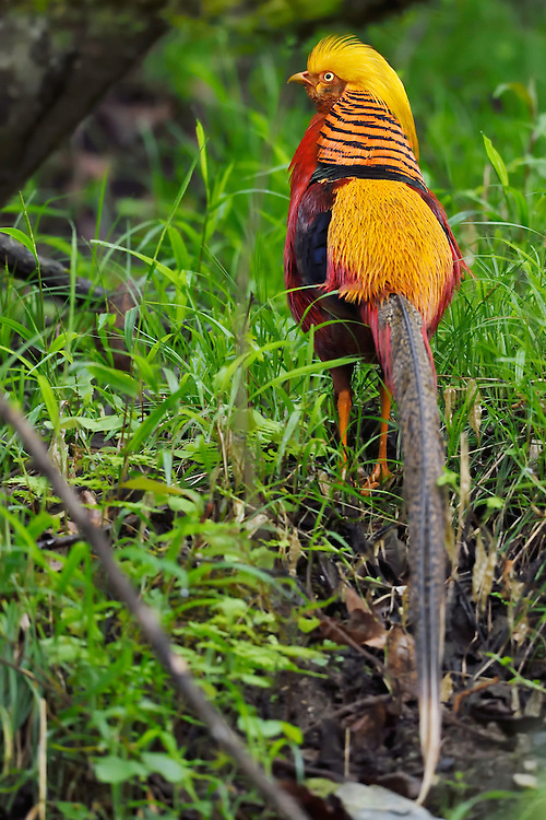 Golden Pheasant, Chrysolophus pictus, Tangjiahe National Nature Reserve, NNR, Qingchuan County, Sichuan province, China. Endemic species for China