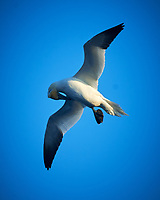Northern Gannet (Morus bassanus). Viewed from the deck of the MV Explorer. North Sea. Image taken with a Nikon D4 camera and 80-400 mm VR lens.