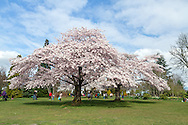 Crowds of tourists viewing the spring Akebono cherry tree blossoms in Queen Elizabeth Park in Vancouver, British Columbia, Canada