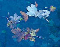 Dead leaves on the water surface, Plitvice National Park, Croatia